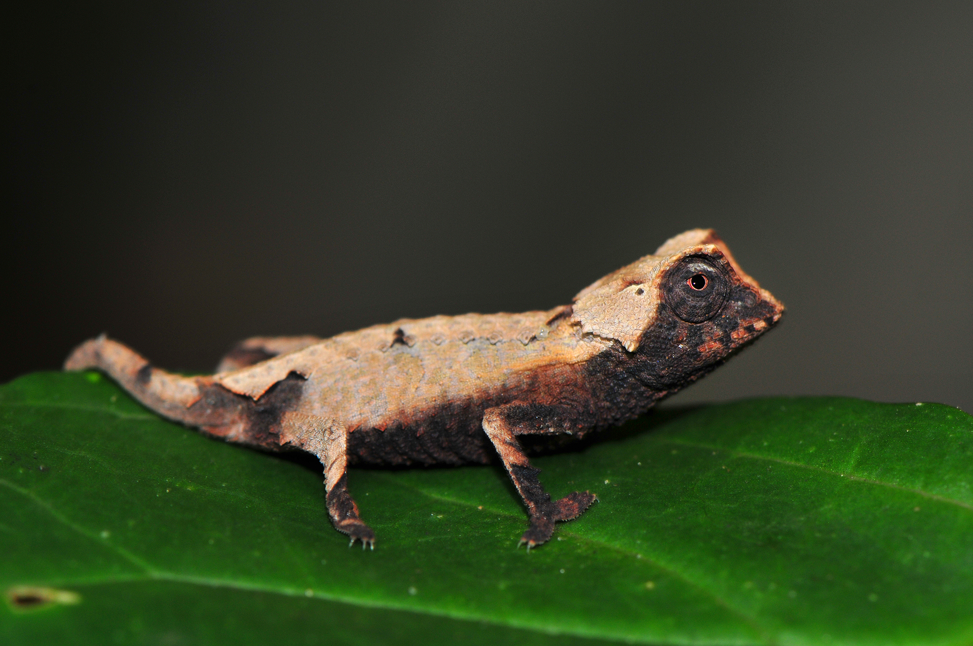 Brookesia decaryi