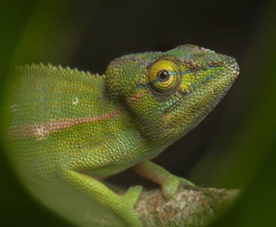 Chamäleons Madagaskars