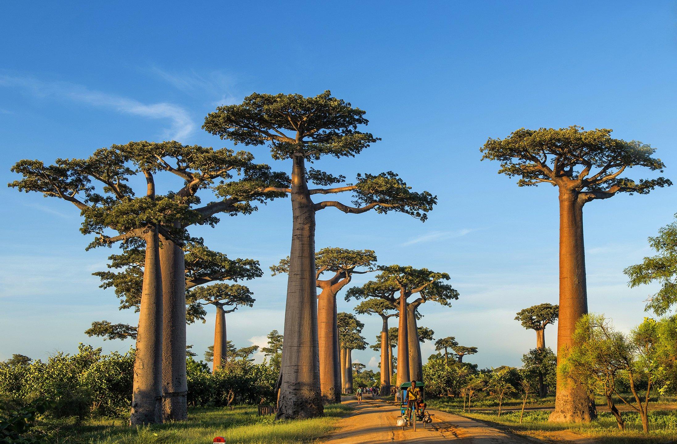 TH_Baobab_Allee12