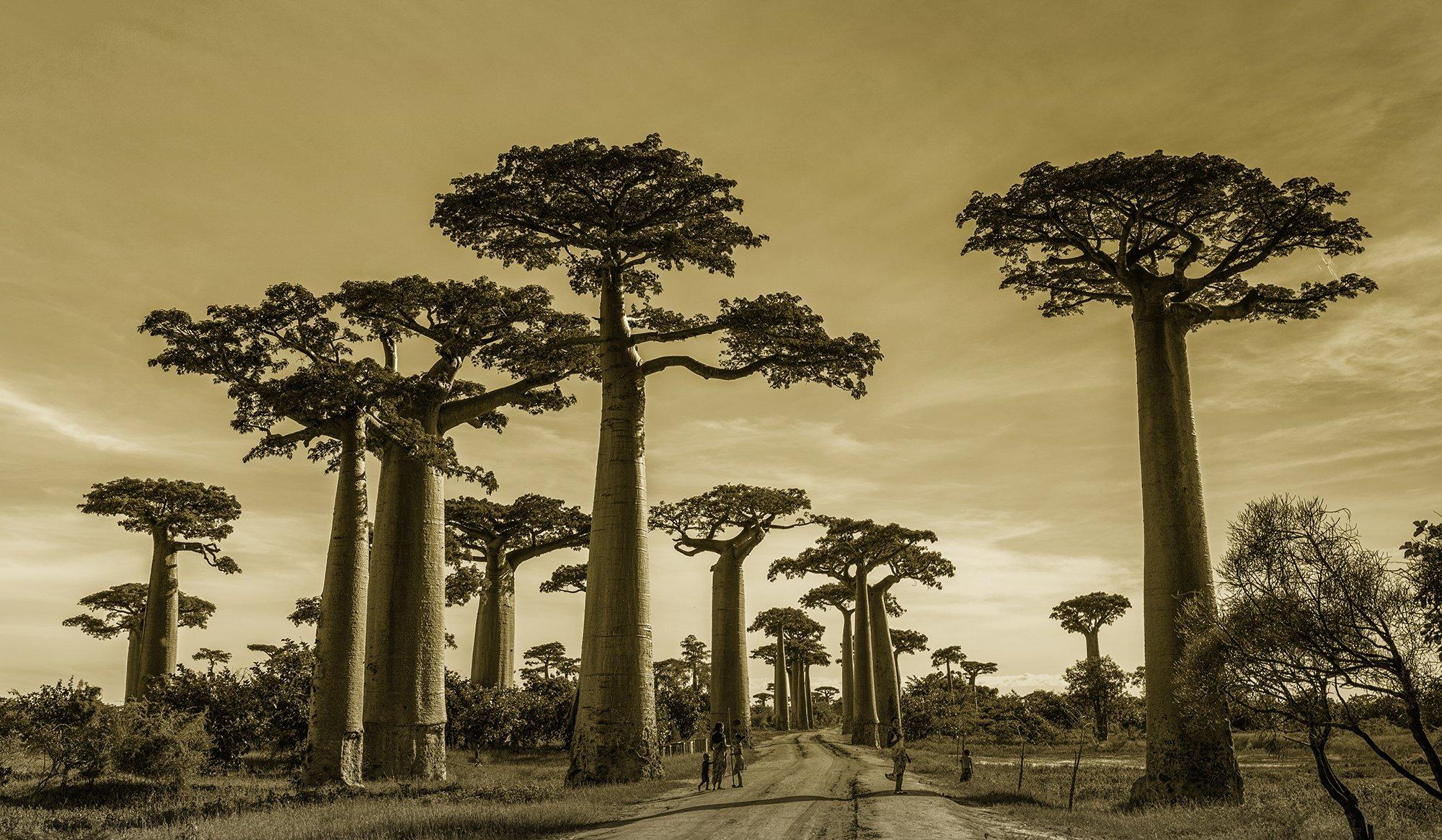 TH_Mono_Baobab