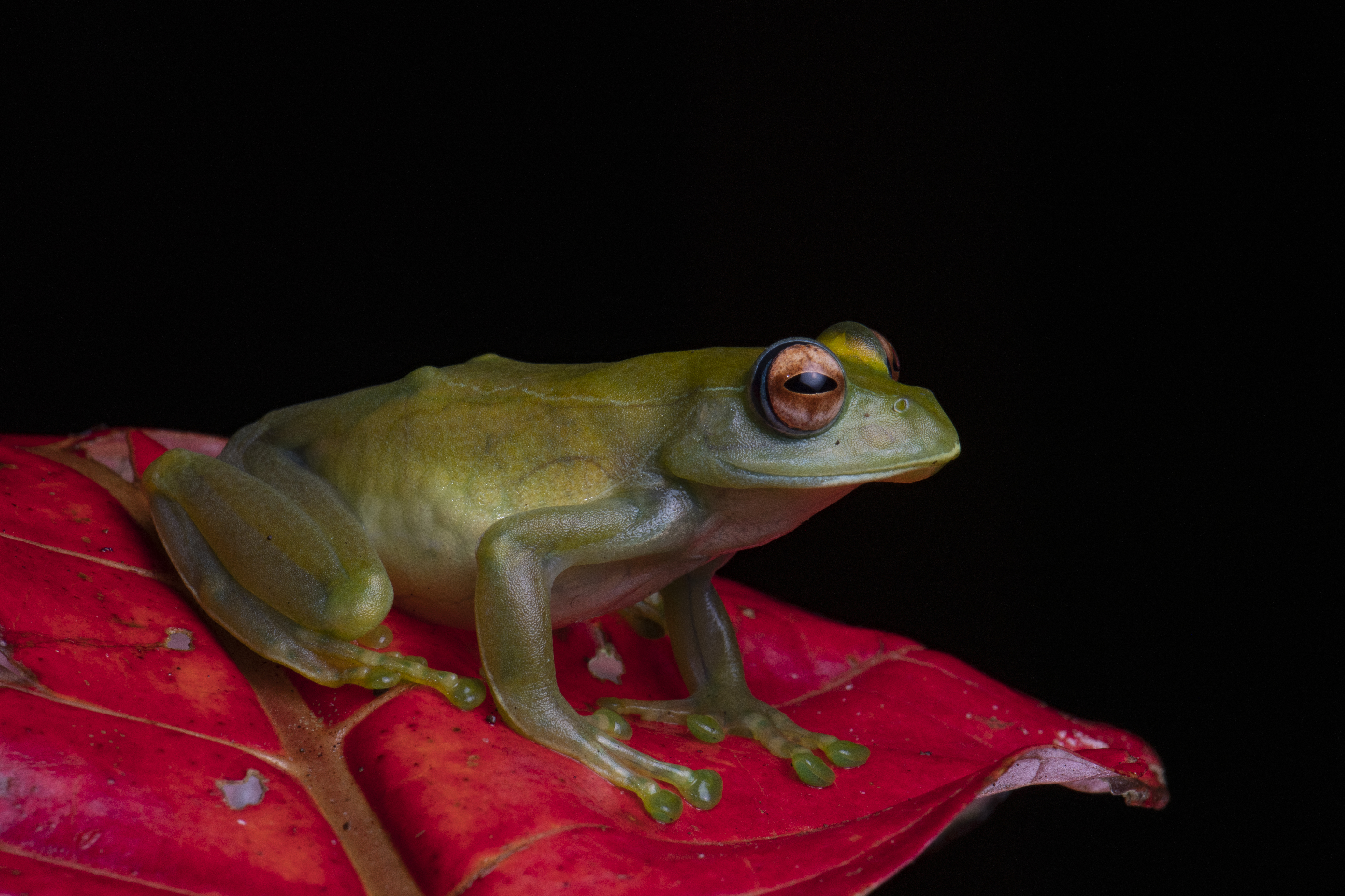 Fotografie mit Blitz und Softbox: Bei diesem Frosch gibt es keine grellen Reflexe