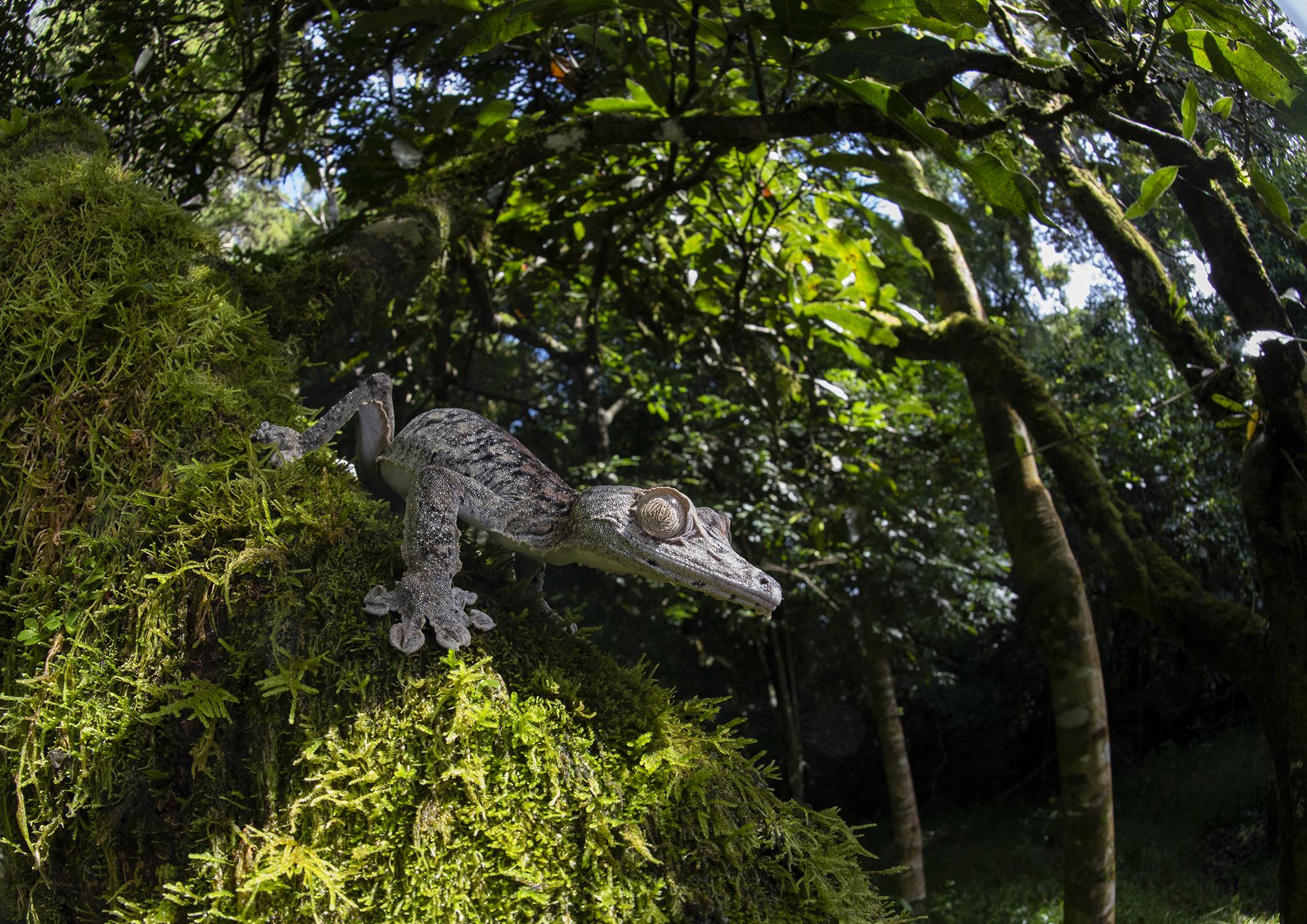 Uroplatus giganteus Tanalahorizon