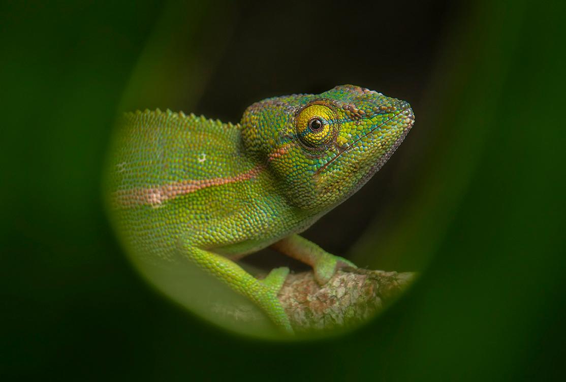 Foto-Tipps Framing (2) Chamäleon auf Madagaskar